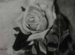 "Rose,                  charcoal/paper, 8""x10"""