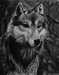 "Wolf,                    charcoal/paper, 12""x16"""